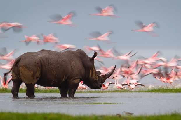 Southern white rhino, Kenya. Isak Pretorius, South Africa