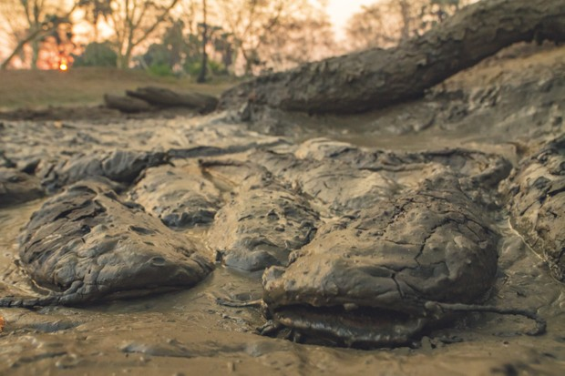 As the water evaporates in the dry season the situation becomes critical but the catfish still have a chance of survival. They can breathe atmospheric air and stay alive as long as their bodies remain moist. © Piotr Naskrecki and Jen Guyton