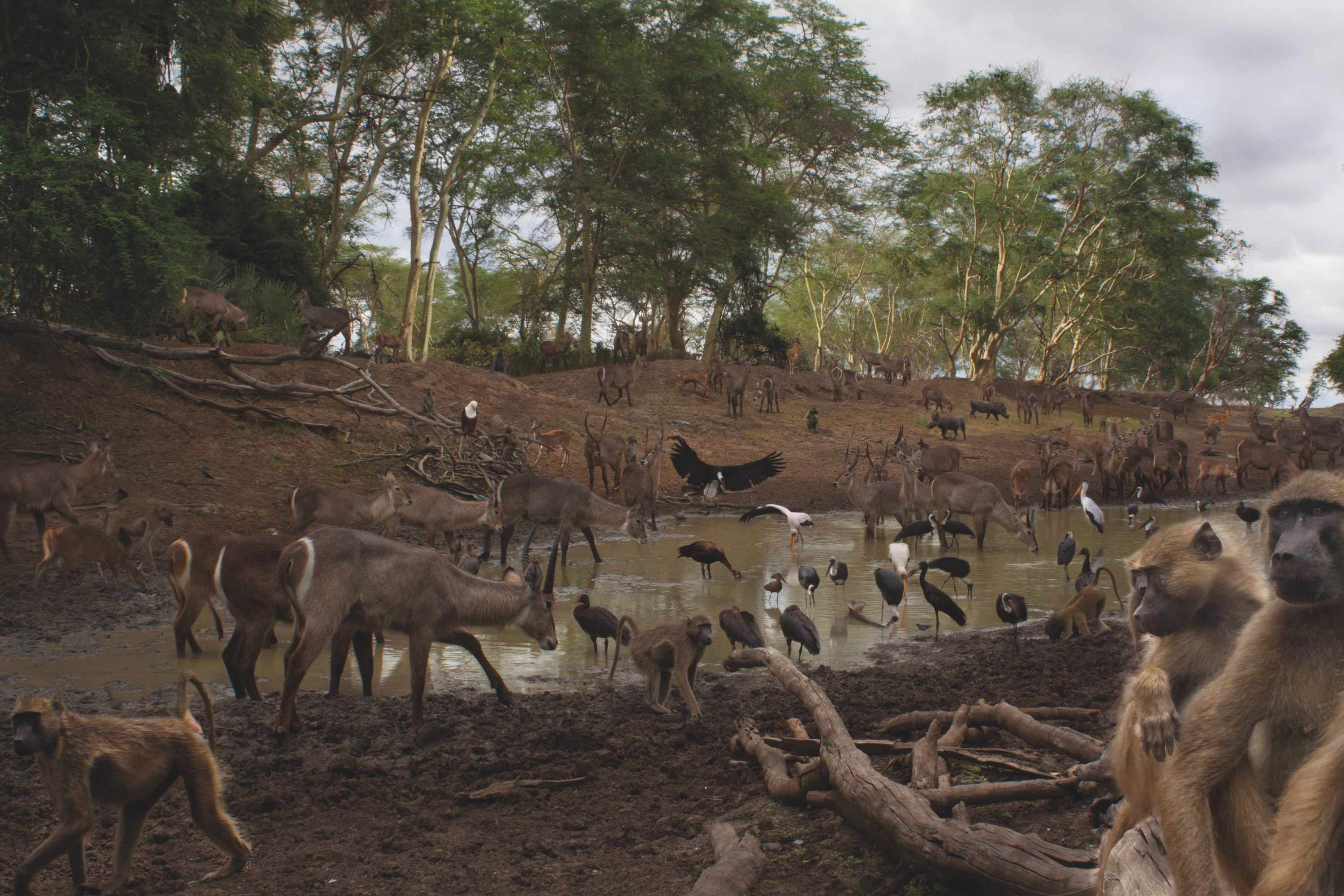 This composite image, taken during a drought, shows the variety of mammals and birds visiting a scarce watering hole in Gorongosa National Park over the course of one day. © Piotr Naskrecki and Jen Guyton