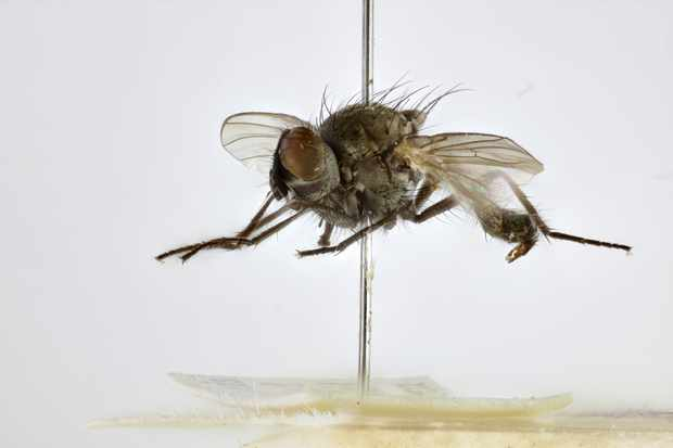 The original type specimen of Fonseca's seed fly. © NHM Trustees