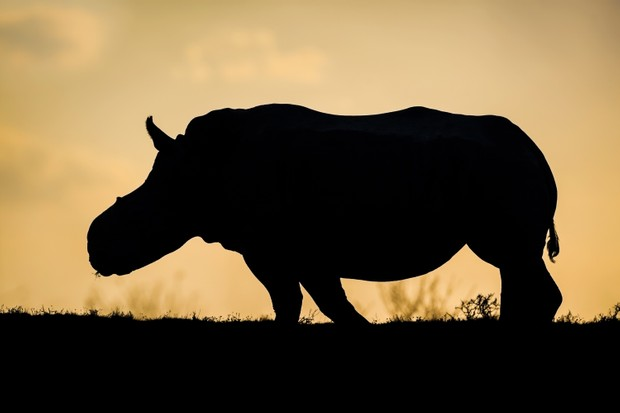 Remembering Rhinos - Discover Wildlife