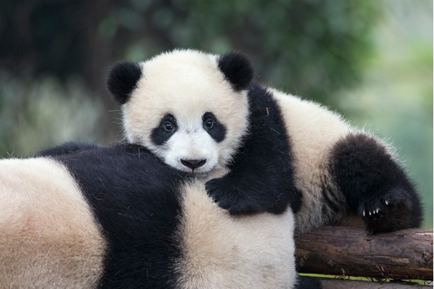 There is a strong bond between a panda mother and her cub. In the wild, young are kept in a natal den for the first three months of their life, after which they are moved to a nearby dense patch of bamboo. © Suzi Eszterhas