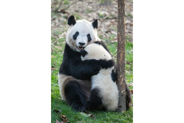 A panda cub will remain with its mother for two to three years before becoming independent. © Suzi Eszterhas
