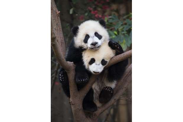 Fifty per cent of panda births result in twins but usually in the wild only one cub survives. © Suzi Eszterhas