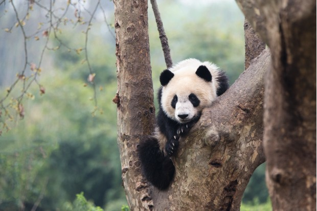 A giant panda sub-adult in a tree at Chengdu Research Base of Giant Panda Breeding. © Suzi Eszterhas