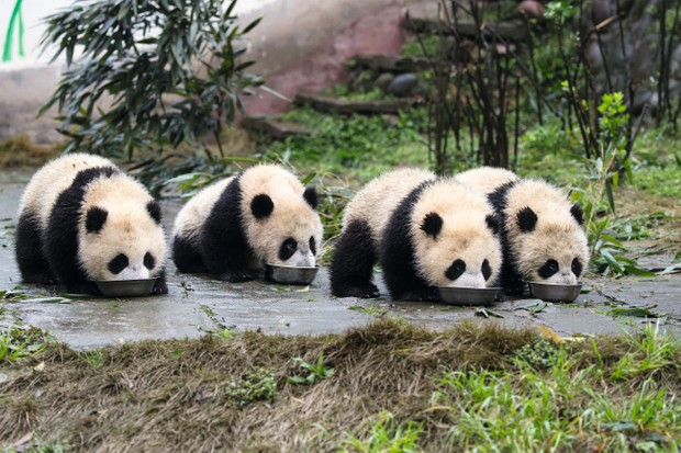 Four cubs drink milk from bowls at Bifengxia Base of China Conservation and Research Centre of Giant Panda. © Suzi Eszterhas