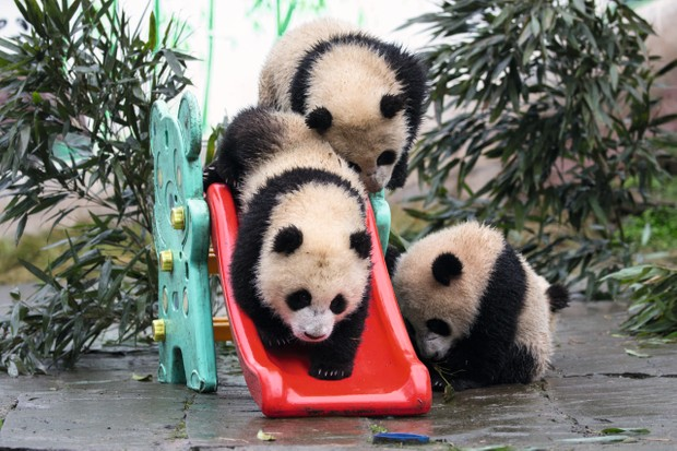 Pandas squeeze down a slide at Bifengxia. Although this behaviour may look cute, the structures serve a purpose by providing enrichment, stimulation and exercise for the growing cubs. © Suzi Eszterhas