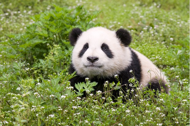 Eastern cultures traditionally regard the panda as a symbol of peace and good fortune ... © Suzi Eszterhas