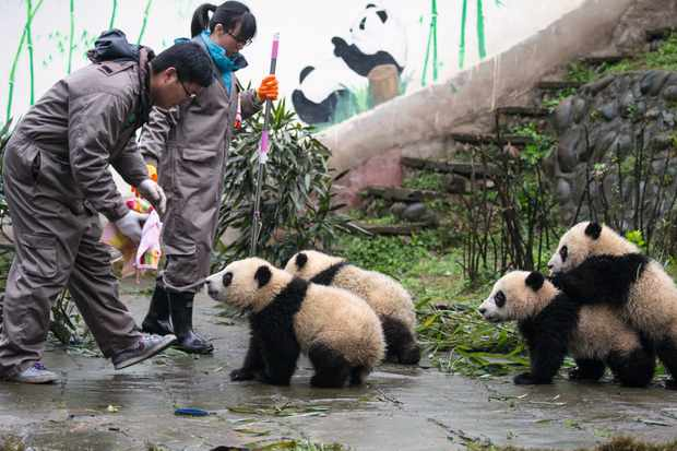 Keepers at Bifengxia must keep enclosures clean. After feeding time staff wipe the milk off the cubs' chins to eliminate the risk of a bacterial infection. © Suzi Eszterhas