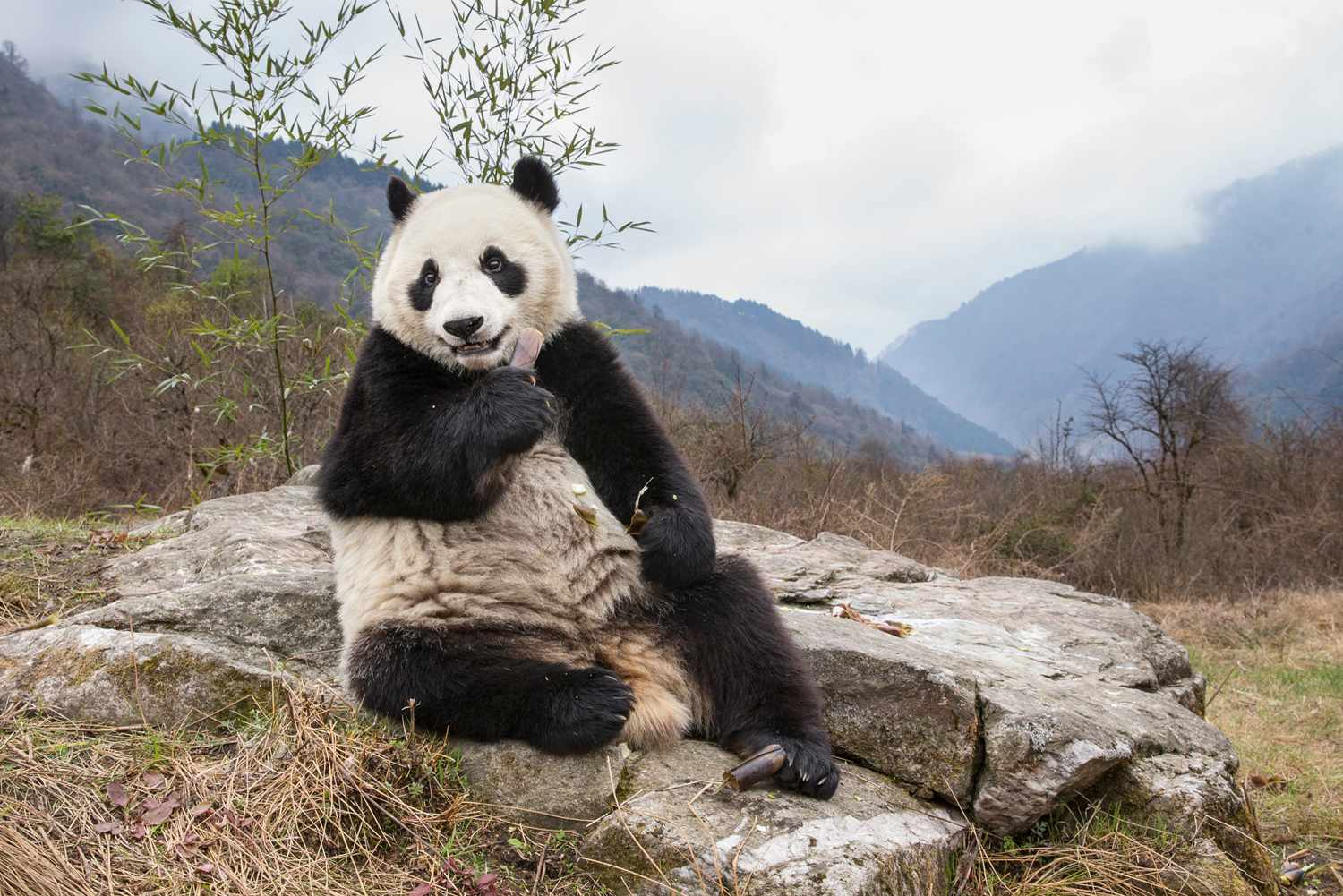 Captive breeding has its challenges because many pandas are not inclined to mate in captivity and there is a short window of opportunity for successful breeding (females only have a single oestrus cycle once a year). © Suzi Eszterhas