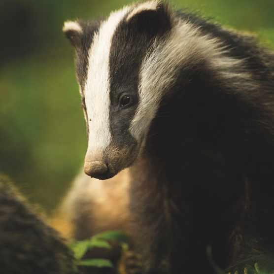 Animal Portraits category winner: Bean. European badger. © Tesni Ward/BWPA