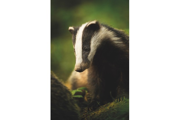 Animal Portraits category winner: Bean. European badger. © Tesni Ward/BWPA