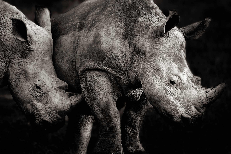 Southern white rhino, Kenya © Piper Mackay, USA