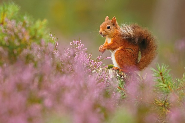 British Seasons category winner: Seasonal Scottish Squirrels - Summer. (Red squirrels) © Neil McIntyre/BWPA