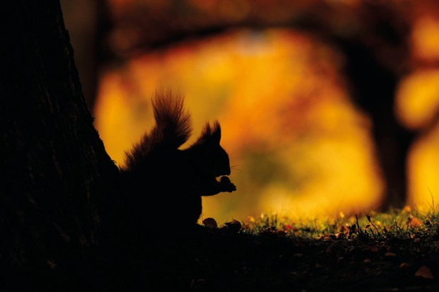 British Seasons category winner: Seasonal Scottish Squirrels - Autumn. Red squirrels) © Neil McIntyre/BWPA
