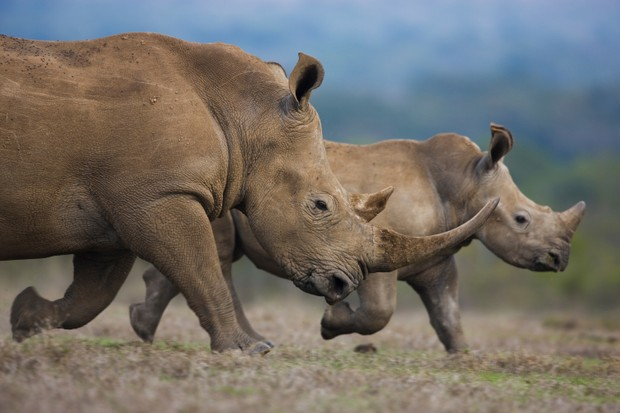 Southern white rhino, Kenya © Theo Allofs, Germany