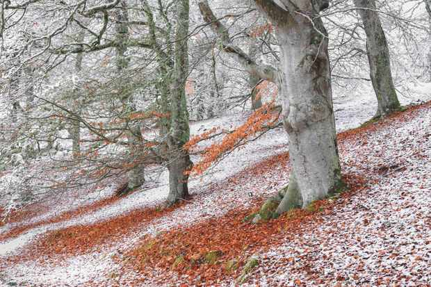 Wild Woods category winner: Seasonal overlap. (European beech) © James Roddie/BWPA