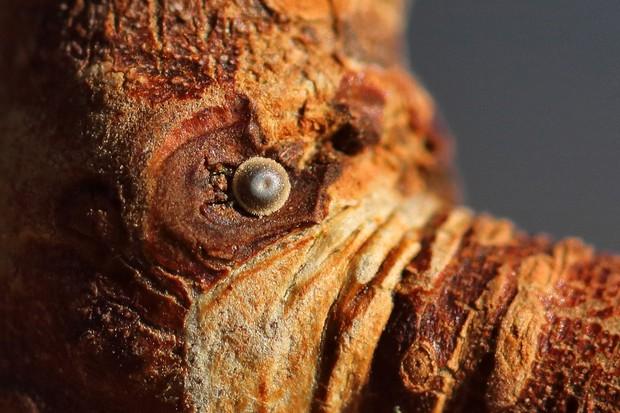 White-letter hairstreak egg. © Iain Cowe/Butterfly Conservation