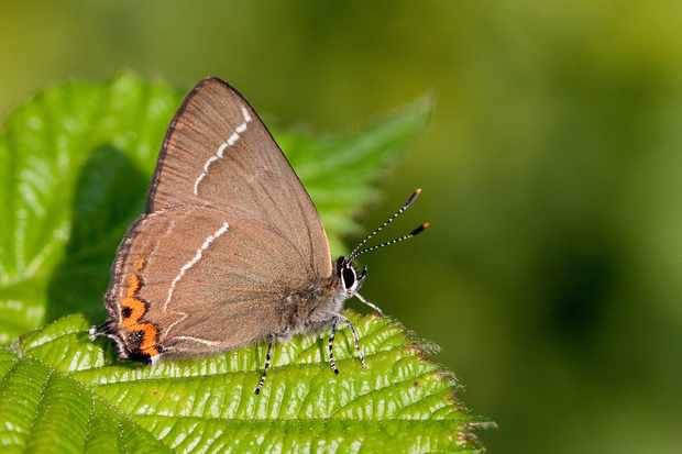 White-letter hairstreak butterfly. © Peter Eeles/Butterfly Conservation