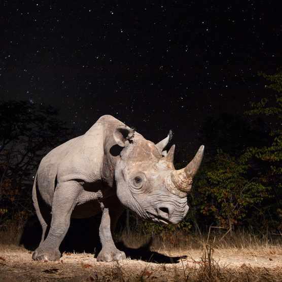 Black rhino, Zambia © Will Burrard-Lucas, UK