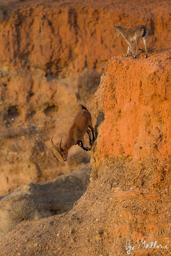 Large, flexible hooves and short legs enable the Iberian ibex to run and leap across the exposed, steep slopes. © Ugo Mellone