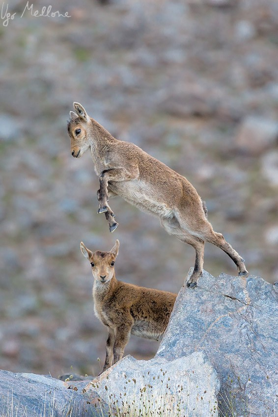 In the Sierra Nevada mountains, at least 10 per cent of females give birth to twins. © Ugo Mellone