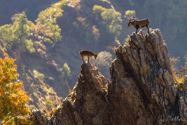 Male and female Iberian ibex live apart for most of the year but come together for the mating season (in November and December) © Ugo Mellone