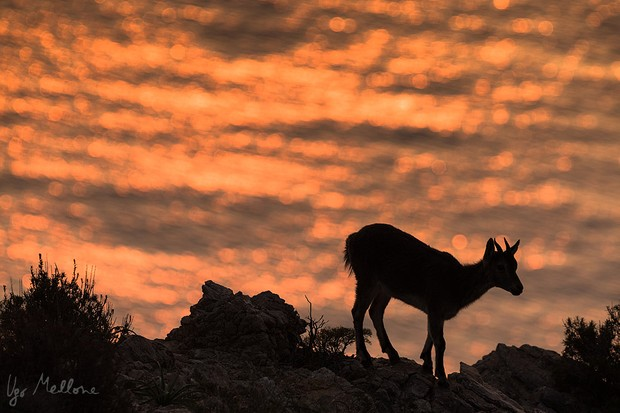 Iberian ibex are perfectly at home in the dramatic landscapes. © Ugo Mellone
