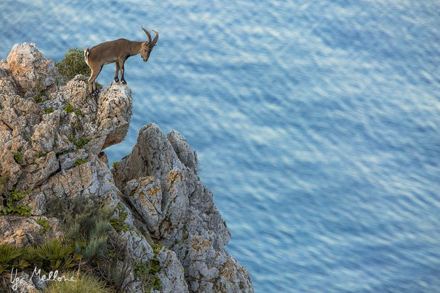 The Iberian ibex is endemic to the Iberian Peninsula and lives in rocky habitats. © Ugo Mellone