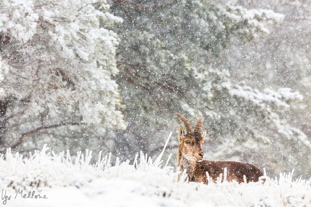 A male ibex rests during snowfall in Sierra Nevada. © Ugo Mellone
