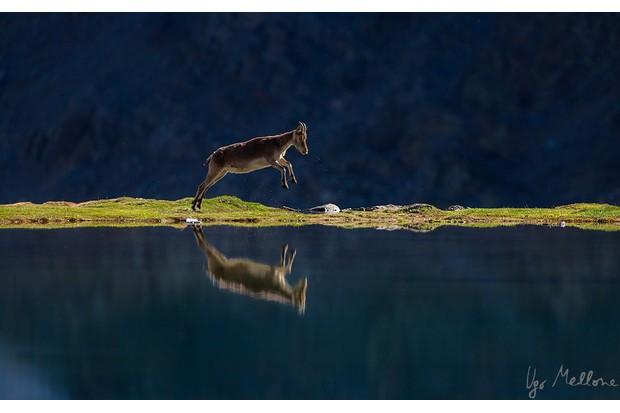A female ibex runs alongside a mountain lake. © Ugo Mellone