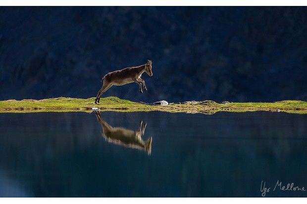 A female ibex runs alongside a mountain lake. © Ugo Mellone