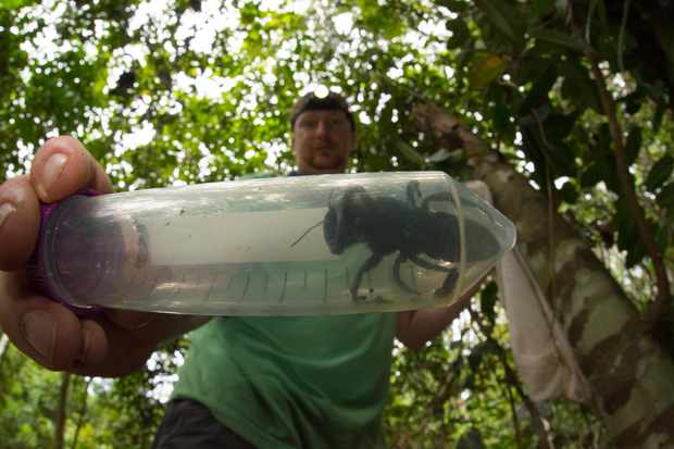Entomologist and bee expert Eli Wyman with the first rediscovered individual of Wallace's giant bee (Megachile pluto) in the Indonesian islands of the North Moluccas. © Clay Bolt