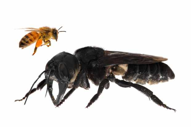 The world's largest bee rediscovered by scientists