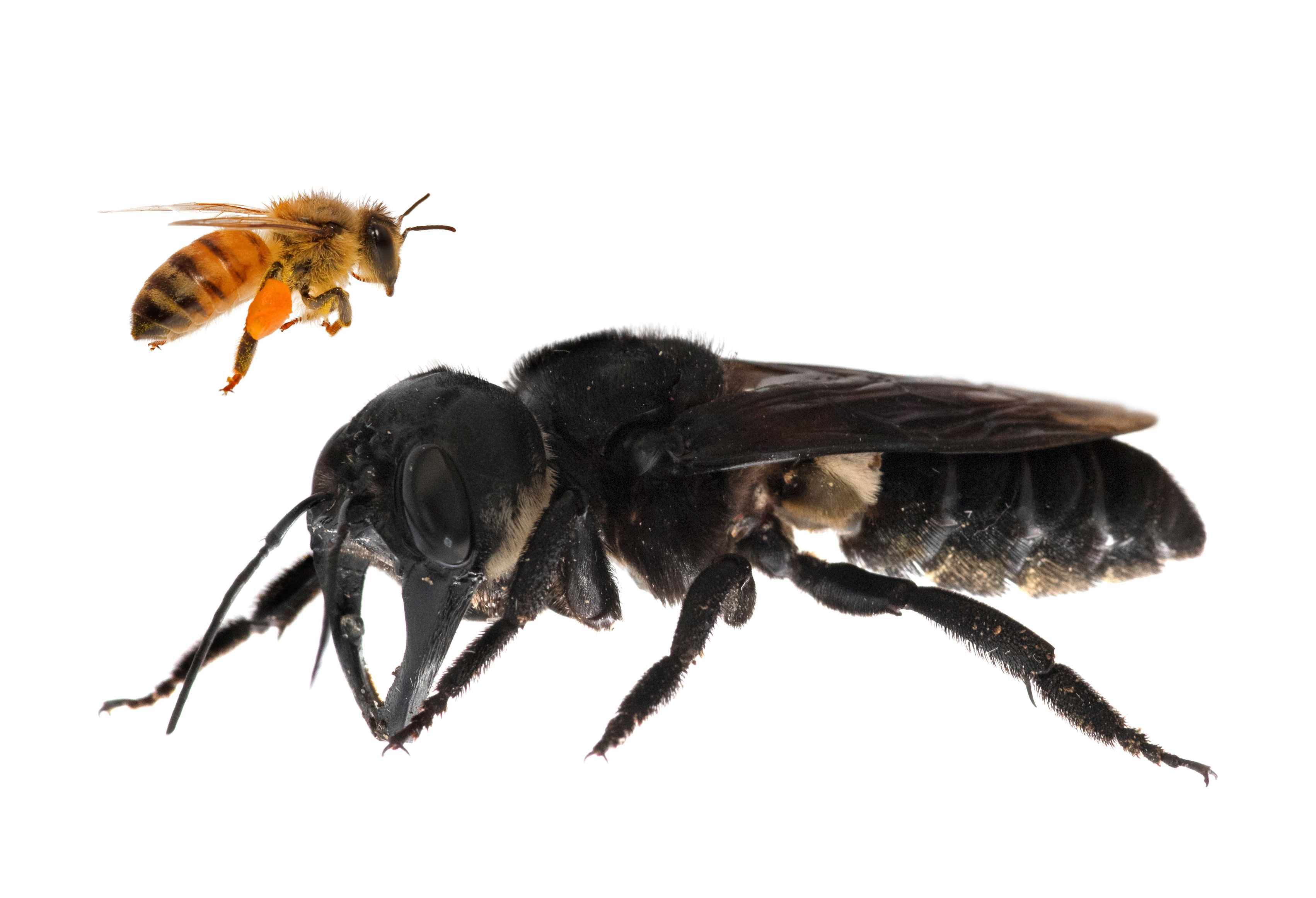 Composite image showing the size difference between a European honeybee work and the female Wallace's giant bee. © Clay Bolt