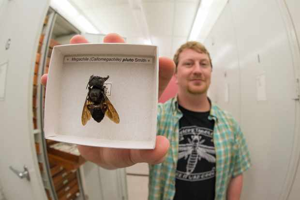 Biologist Eli Wyman with one of the only known specimens of Wallace's Giant Bee (Megachile pluto), which is the world's largest known bee. © Clay Bolt