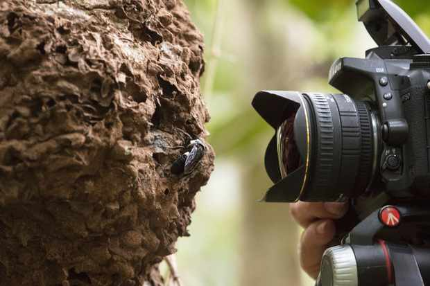 Natural history photographer Clay Bolt makes the first ever photos of a living Wallace's giant bee at its nest, which is found in active termite in the North Moluccas, Indonesia. © Simon Robson