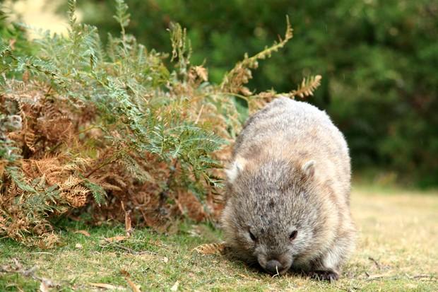 Tasmanian bare-nosed wombat. © Terra Mater/Stephanie Dunleavy