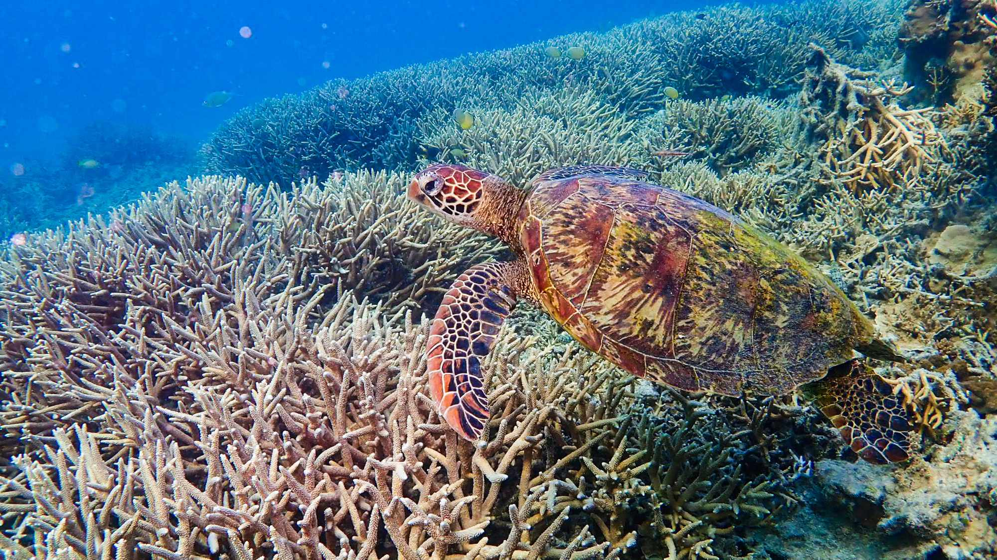 Green turtle. © Ellis Roberts/BBC