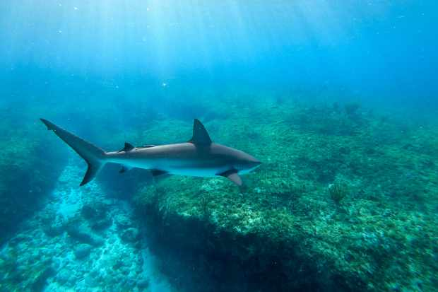 Caribbean reef shark, Bahamas. © Mark McLean/BBC