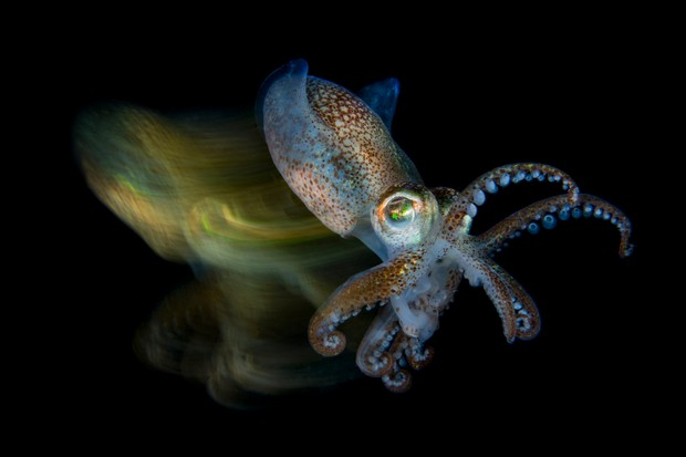 Macro Category Winner. Fast cuttlefish (Sepiola sp.). © Fabio Iardino/UPY 2019