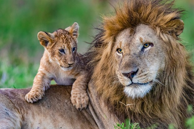 Askari the lion with cub. © Animal Planet