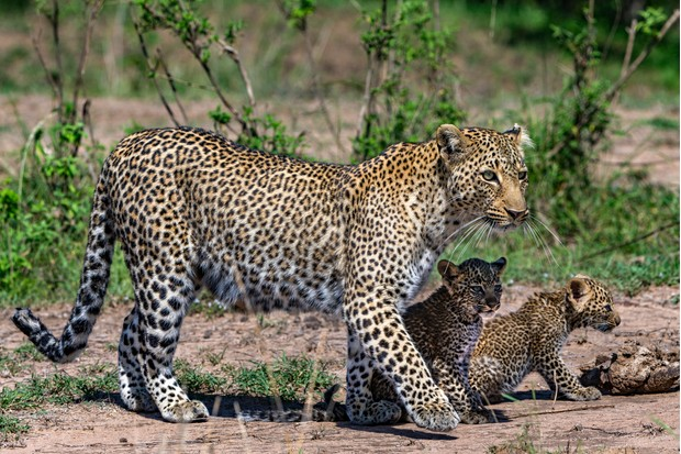 Bahati the leopard with her two cubs. © Animal Planet