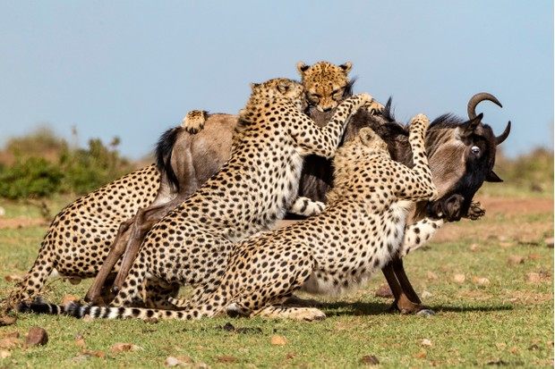 The five Cheetah Boys taking down a wildebeest. © Animal Planet