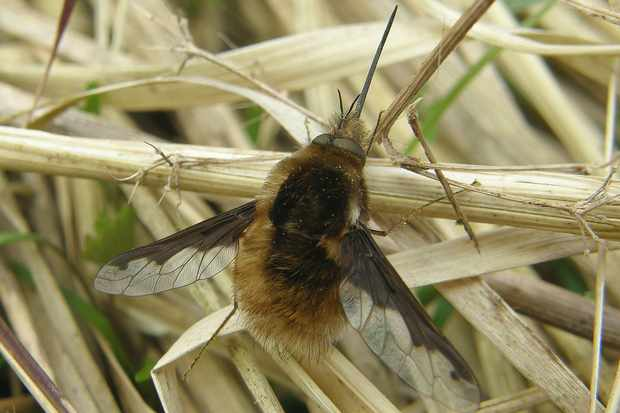 Male Bombylius major from Peterborough. © Steven Falk