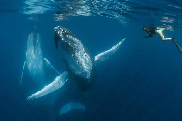 Compact Category Winner. Dancing with the giants (Humpback whale). © Simone Matucci/UPY 2018.