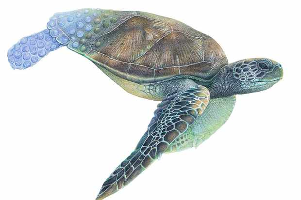 Pastel pencil drawing of a green sea turtle. © mART