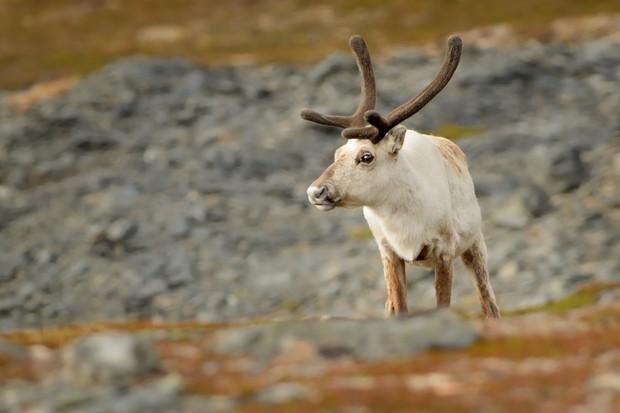 CNHS 190314 Reindeer-in-tundra-Varanger-Norway (credit K Hand)