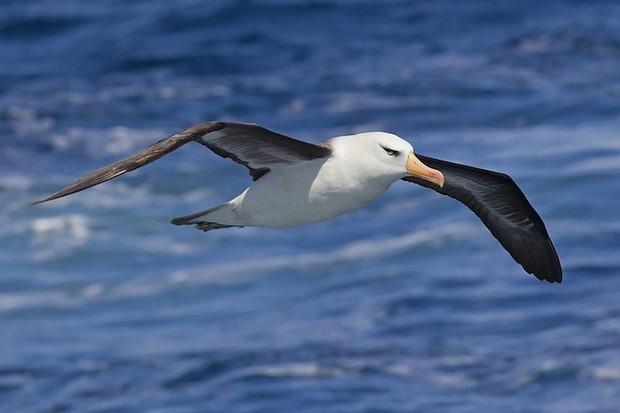Campbell albatross. © Hookpod