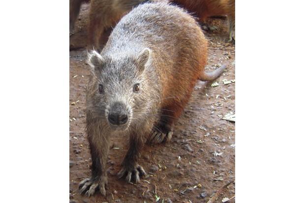 Cuban hutia Capromys pilorides, closest living relative to the newly described mammals. © Nancy Albury